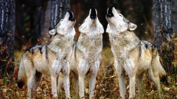 Een roedel huilende wolven